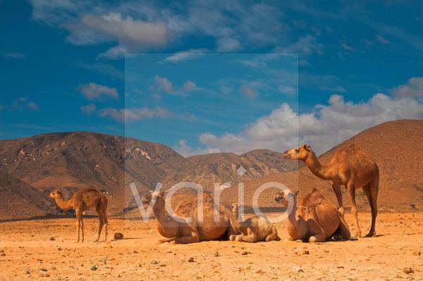Dromedar, Camelus dromedarius, Dromedary
