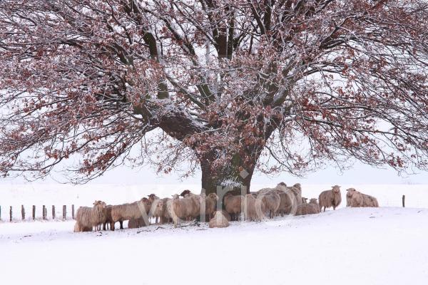 Winterlandschaft mit Schafen