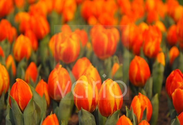 mehrfarbige Tulpen, Tulipa
