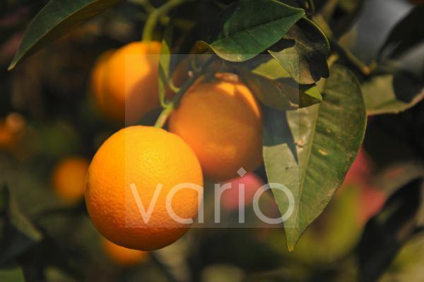 Orangen, Citrus, an einem Orangenbaum