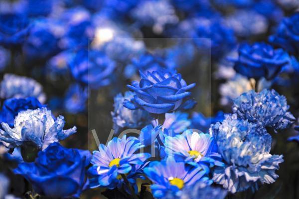 neugezuechtete blaue Rosen, Rosa, in einem Blumenbeet