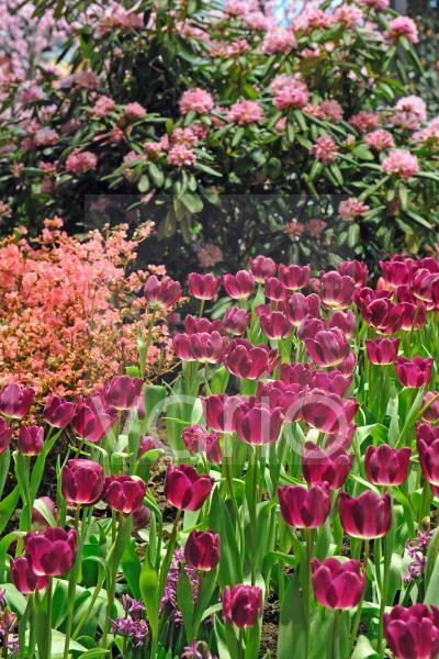 violette Tulpen, Tulipa, in einem Blumenbeet