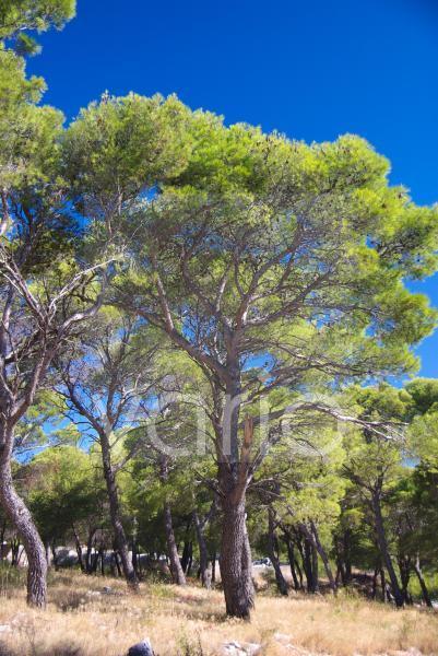 Kiefenwald auf Rogoznica, Sibenik, Dalmatien, Kroatien