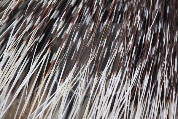 Stachelschwein