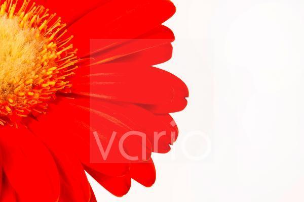 rote Blume auf weißen Hintergrund