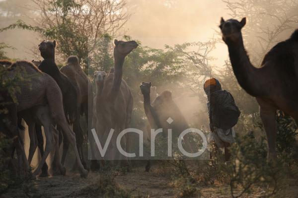 Camel shepherd drive his camel herd to the Pushkar camel Fair
