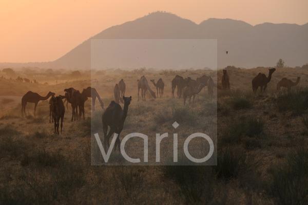 Camel herd in the desert