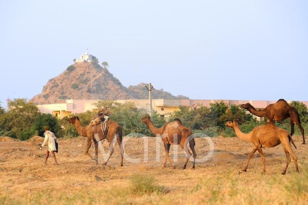 Camel shepherd and his camels