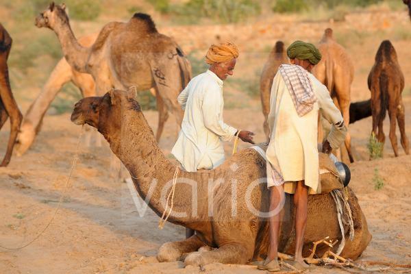 Camel shepherds