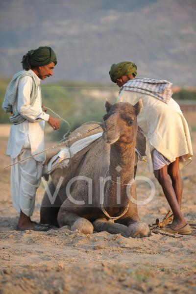 Camels herdsmen