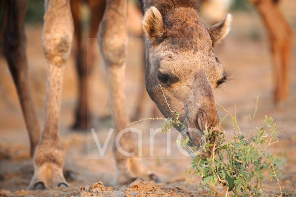 Camel graze