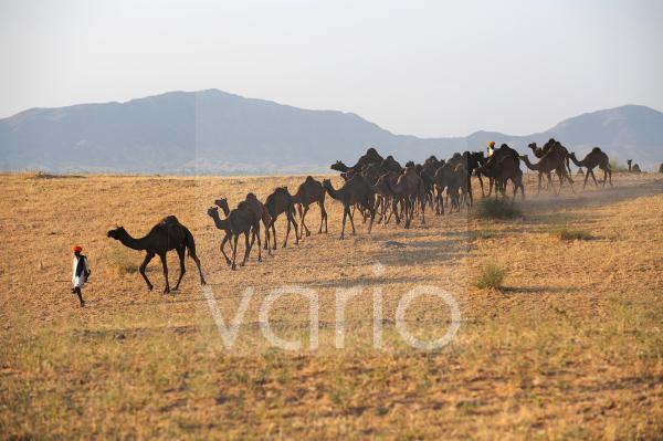 Herd of camles left the Pushkar fair