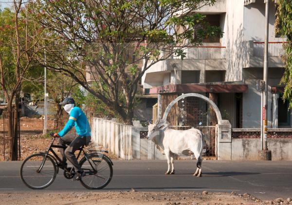 An Indian man rides his bicycle past a cow standing in the street