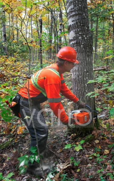 A logger uses a chainsaw to cut down a large tree during a clear cut