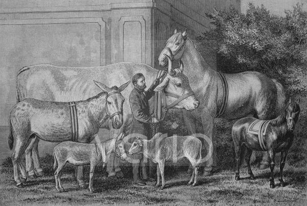 Riesenwuchs und Zwergenwuchs bei landwirtschaftlichen Tieren, historischer Stich, 1883
