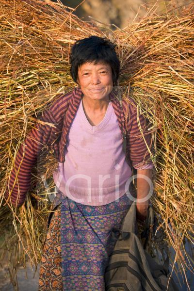 Local woman in evening sunlight carrying a large bundle of straw to feed her livestock, Phobjikha Valley, Bhutan, Asia