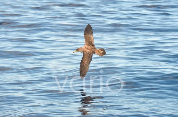 Cory's Shearwater (Calonectris diomedea) adult, in flight over ocean, Azores, June