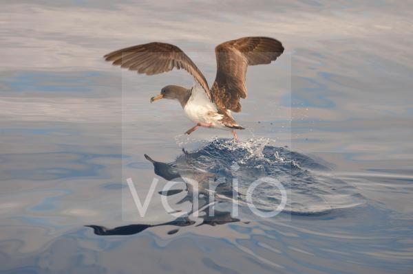 Cory's Shearwater (Calonectris diomedea) adult, in flight, taking off from ocean surface, Azores, June