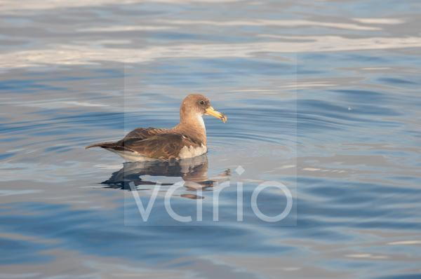 Cory's Shearwater (Calonectris diomedea) adult, resting on ocean surface, Azores, June