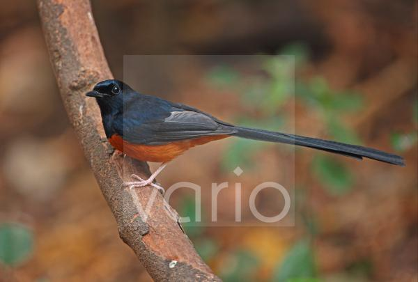 White-rumped Shama (Copsychus malabaricus interpositus) adult male, perched on branch, Kaeng Krachan N.P., Thailand, february