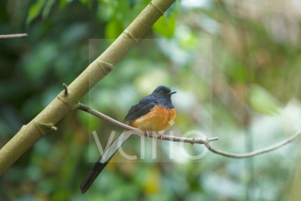 White-rumped Shama (Copsychus malabaricus) adult male, perched on twig, Durrell Wildlife Park (Jersey Zoo)