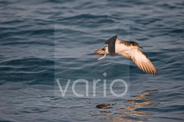 Manx Shearwater (Puffinus puffinus) adult, in flight over sea, St. Bride's Bay, off Skomer Island, Pembrokeshire, Wales, july