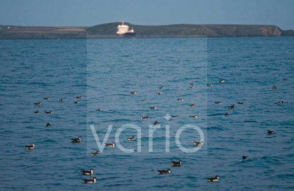 Manx Shearwater (Puffinus puffinus) flock, gathering on sea at dusk, St. Bride's Bay, off Skomer Island, Pembrokeshire, Wales, july