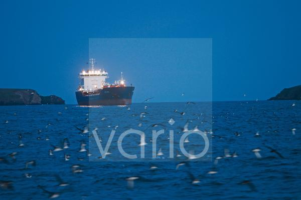 Manx Shearwater (Puffinus puffinus) flock, in flight, gathering on sea with ship at dusk, St. Bride's Bay, off Skomer Island, Pembrokeshire, Wales, july