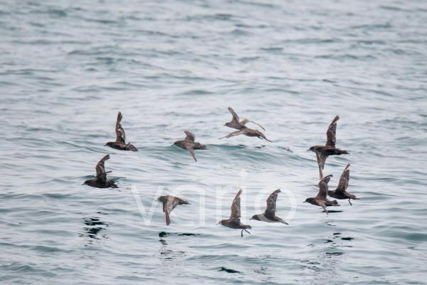 Short-tailed Shearwater (Puffinus tenuirostris) adults, moulting wing feathers, flock in flight over sea, Sea of Okhotsk, Russian Far East, Russia, may