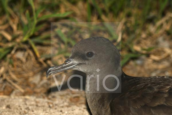 Wedge-tailed Shearwater (Puffinus pacificus) adult, close-up of head, on land at night, Queensland, Australia, November