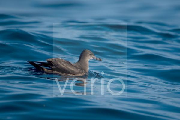 Sooty Shearwater (Puffinus griseus) adult, swimming at sea, Portugal, october