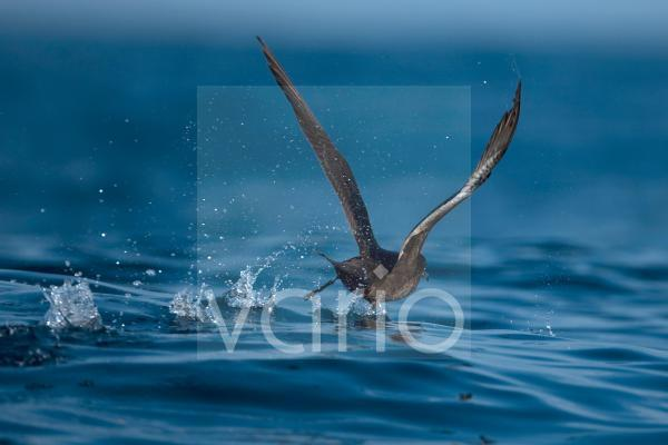 Sooty Shearwater (Puffinus griseus) adult, running across water, taking off from sea, Portugal, october