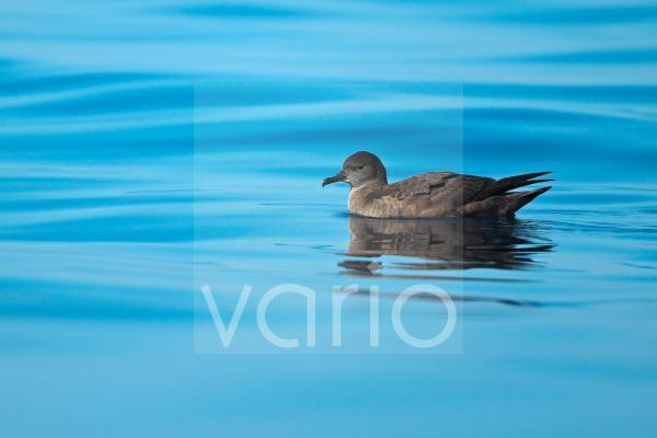 Sooty Shearwater (Puffinus griseus) adult, swimming at sea, Algarve, Portugal, october