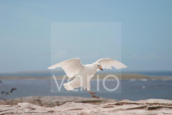 Snowy Sheathbill (Chionis alba) landing on rocks Falklands