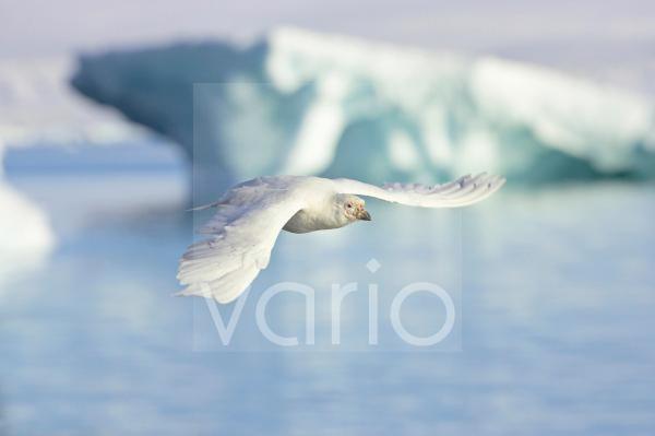 Snowy Sheathbill (Chionis alba) adult, in flight over sea, Paulette Island, Antarctic Peninsula, Antarctica