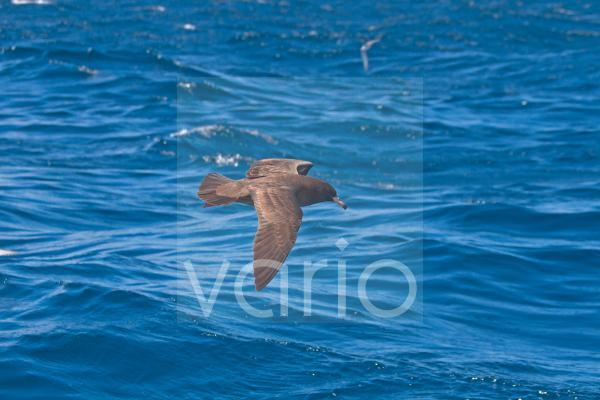 Flesh-footed Shearwater (Puffinus carneipes) adult, in flight over sea, New Zealand, november
