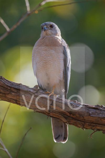 Shikra (Accipiter badius) adult, perched on branch, Kanha N.P., Madhya Pradesh, India, March
