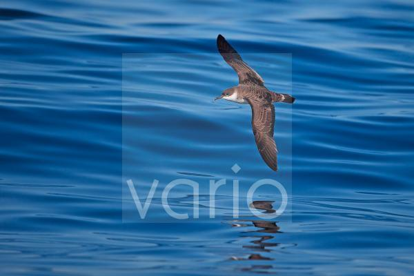Great Shearwater (Puffinus gravis) adult, in flight over sea, Portugal, October