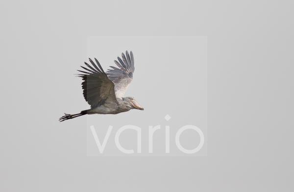 Shoebill (Balaeniceps rex) adult, in flight, Mabamba Swamp, Mabamba Bay, Lake Victoria, Entebbe, Uganda, June