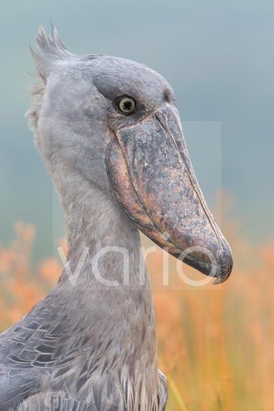 Shoebill (Balaeniceps rex) adult, close-up of head, Mabamba Swamp, Mabamba Bay, Lake Victoria, Entebbe, Uganda, June