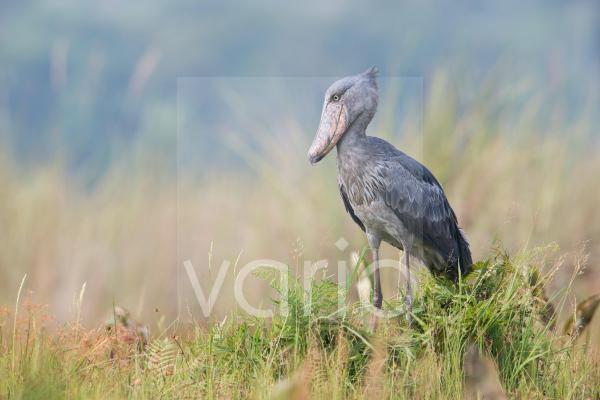 Shoebill (Balaeniceps rex) adult, standing in wetland, Mabamba Swamp, Mabamba Bay, Lake Victoria, Entebbe, Uganda, June