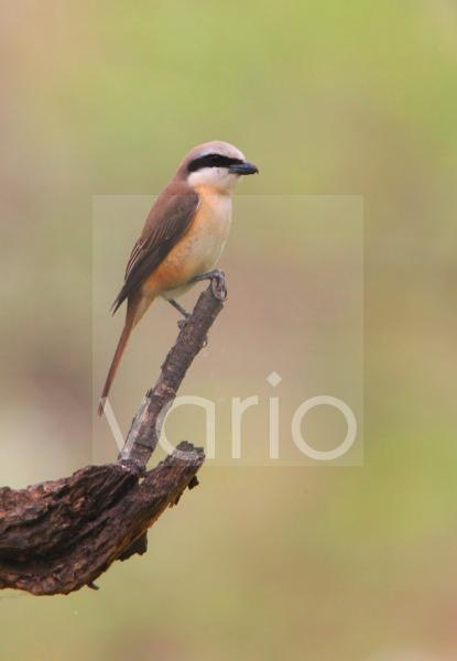 Brown Shrike (Lanius cristatus lucionensis) immature male, first year plumage, perched on branch, Beidaihe, Hebei, China, may