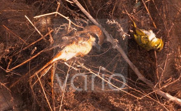 Brown Shrike (Lanius cristatus) and Pallas's Warbler (Phylloscopus proregulus) dead migrants, caught in illegal mist-net, Hebei, China, may