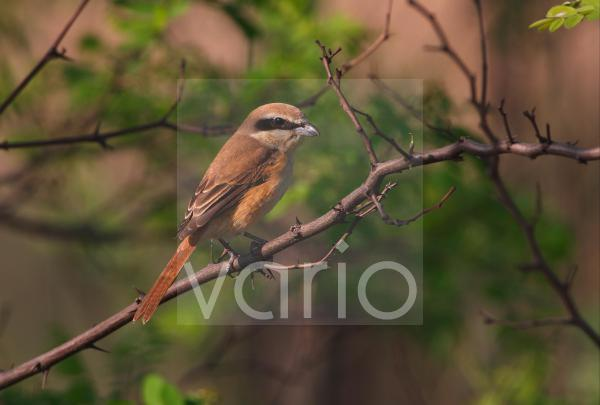 Brown Shrike (Lanius cristatus) adult, perched on branch, Hebei, China, may