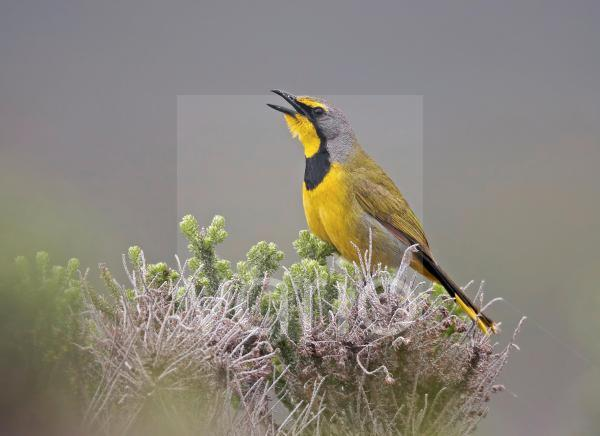 Bokmakierie Bushshrike (Telophorus zeylonus) adult, calling, perched in bush, Cape of Good Hope, Western Cape Province, South Africa, September