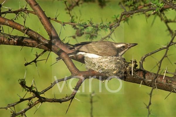 Common Woodshrike (Tephrodornis pondicerianus) adult, sitting on eggs in nest, Kuvanthakulam, Tamil Nadu, India