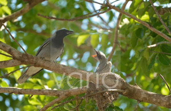 Black-faced Cuckoo-shrike (Coracina novaehollandiae) adult feeding chick, at nest on branch, Queensland, Australia, November