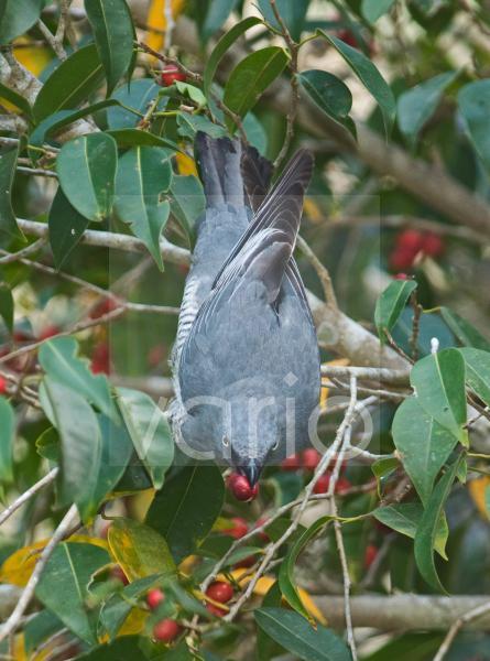 Barred Cuckoo-shrike (Coracina lineata) adult, feeding on figs in tree, Queensland, Australia
