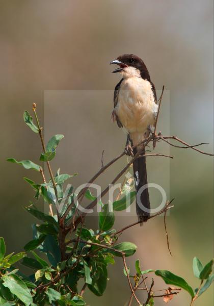 Long-tailed Fiscal (Lanius cabanisi) adult, calling, perched in bush, Tsavo East N.P., Kenya, november
