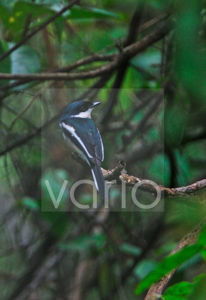 Bar-winged Flycatcher-shrike (Hemipus picatus leggei) 'Ceylon Pied Shrike' endemic race, adult, perched on branch, Sri Lanka, december